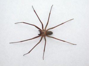 Typical Appearance of Brown Recluse Spiders