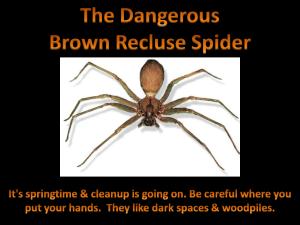 BrownRecluse2
